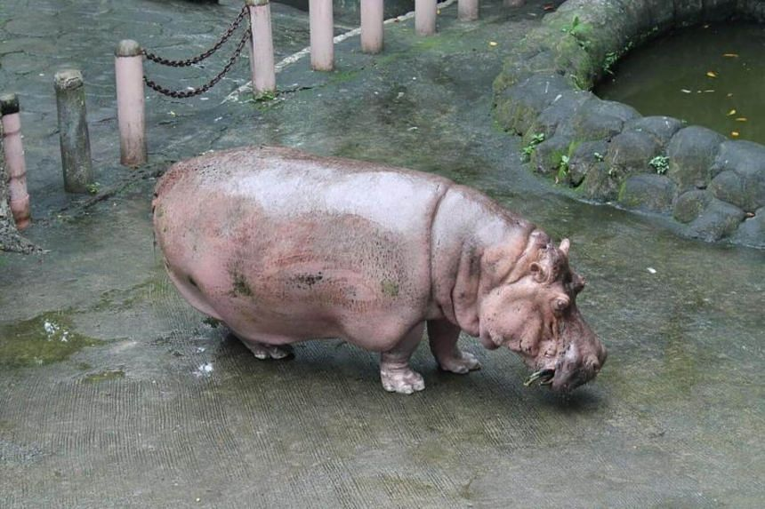 Bertha, believed to be the world's oldest hippopotamus, has died aged 65, the Manila zoo on July 10, 2017.
