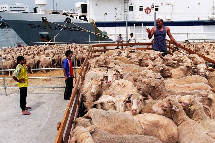 This year's korban ritual at 25 mosques will have a total of 3,700 Australian sheep.