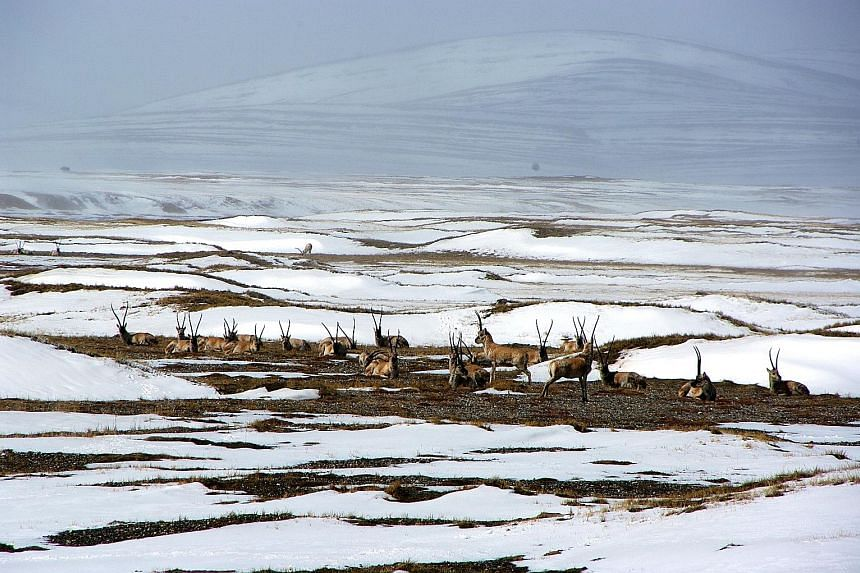 Left: Endangered Tibetan antelopes seen resting in a snow-covered field in Hoh Xil in China's Qinghai Province. Above: Gulangyu, the pedestrian-only island near the city of Xiamen in Fujian province.