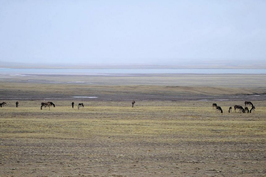 Wild donkeys rest near a lake on the grasslands in Hoh Xil on May 14, 2011.