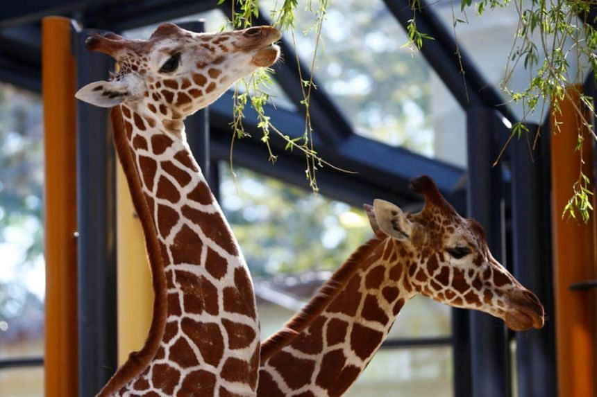 Giraffes Fleur and Sofie stand in their new enclosure in Schoenbrunn zoo in Vienna, Austria, on May 10, 2017.