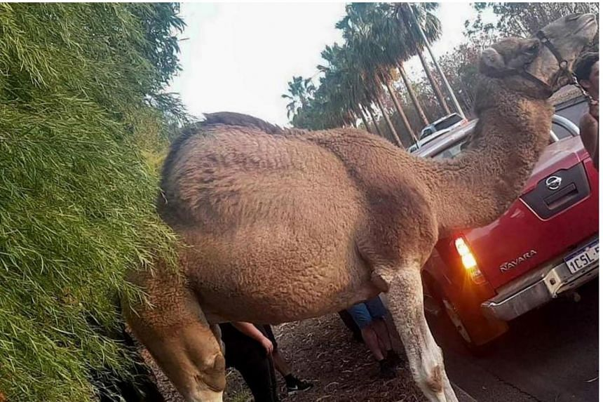 The camel, after it was recaptured by Australian police officers.