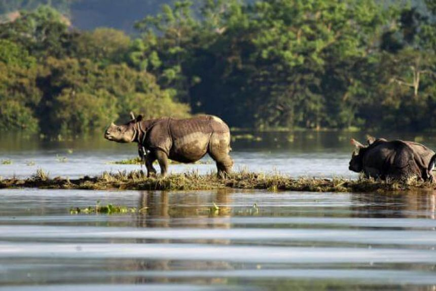 One-horned rhinoceroses are seen at the flooded Kaziranga National Park in the northeastern state of Assam, India, July 12, 2017.