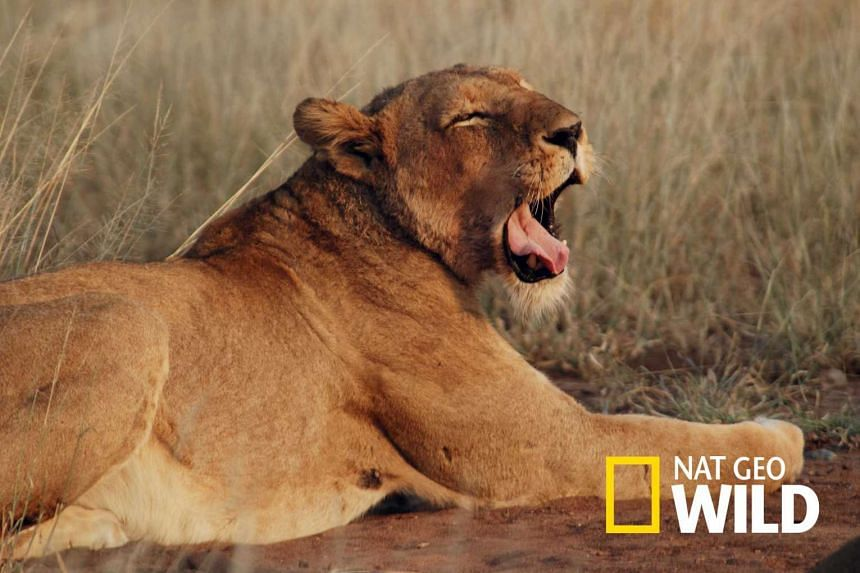 A lioness lying down in Kruger National Park, a South African game reserve.