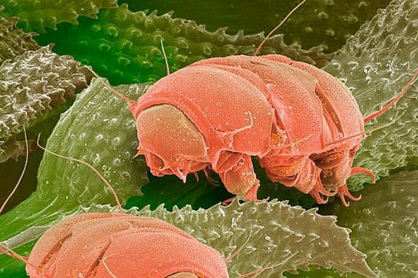 The microscopic Tardigrade can survive in extreme conditions even beyond Earth's atmostphere.