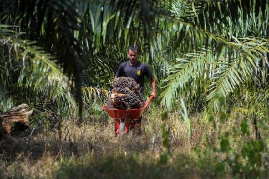 A man transporting palm fruit in a wheelbarrow at a palm oil plantation in Aceh Jaya, Aceh province on Jan 23, 2016.