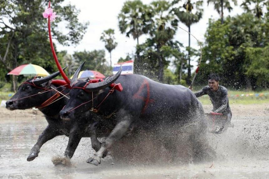 A Thai farmer competes in the Water Buffalo Racing Festival in Chonburi province, Thailand, on July 16, 2017.