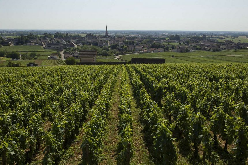 Decades-old vines of aligote kept by Jean-Marc Roulot near Meursault, France. PHOTO: NYTIMES