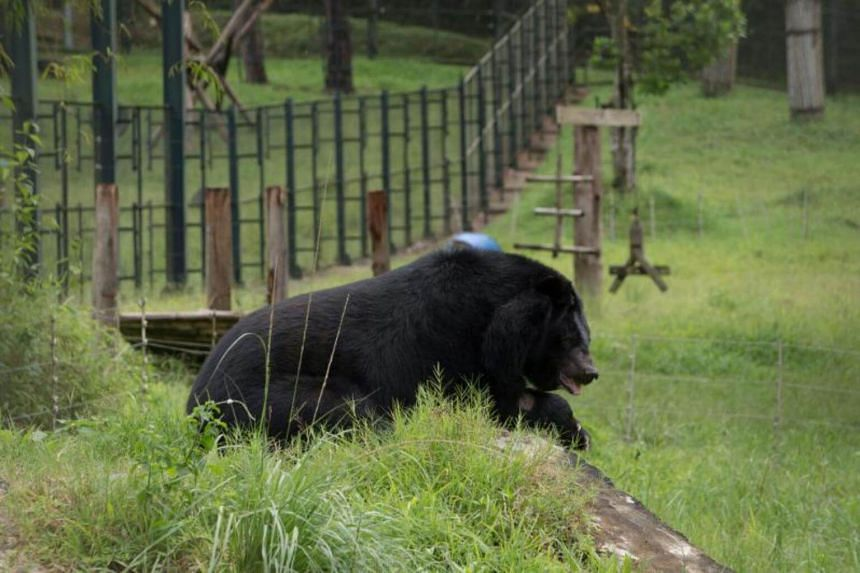A blind moon bear rests at the Vietnam Bear Rescue Centre near Tam Dao National Park in Vinh Phuc province, some 70 kms north of Hanoi, on July 19, 2017.