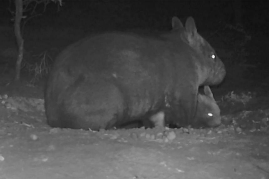 An infrared photo taken at night of a northern hairy-nosed wombat mother and joey at the Richard Underwood Nature Refuge in Epping Forest National Park in Queensland.