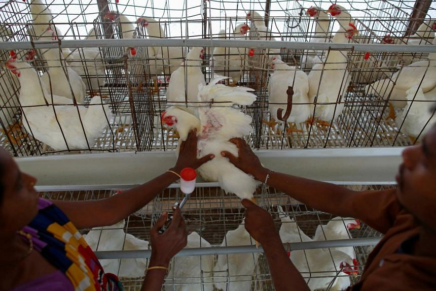 Employees give a vaccination shot to a chicken at an hatchery in Mangaon, south of Mumbai.