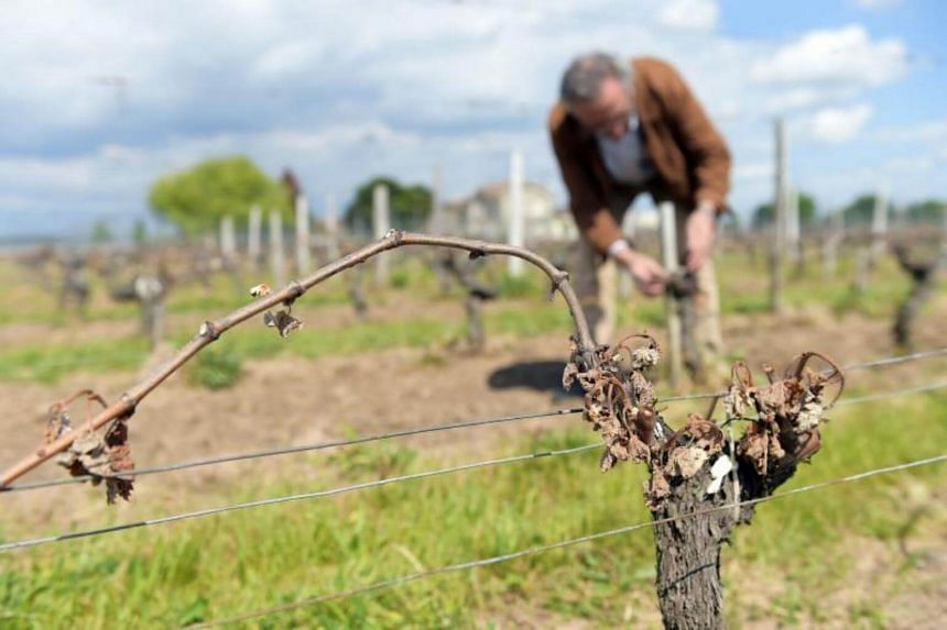 A wine grower checks his vineyards partially destroyed by the frost of late April cold nights on May 3, 2017 in Vignonet.