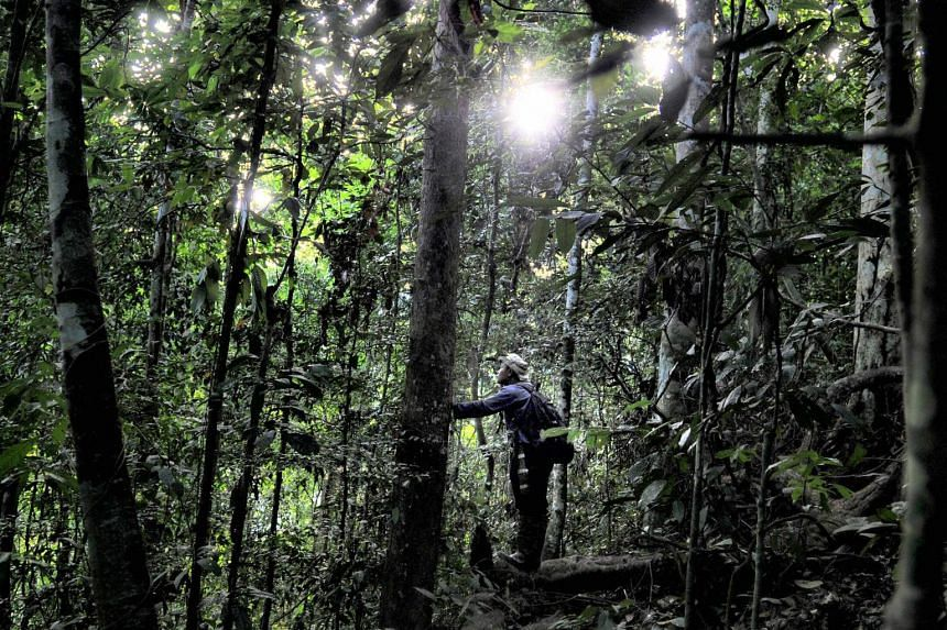 This picture taken on May 7, 2017, shows an Indonesian forest ranger observing a population of orang utans in the Leuser ecosystem rainforest, located mostly within the province of Aceh on the northern tip of the island of Sumatra.