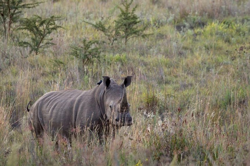 An April 2012 photograph of a rhino in the Pilanesberg National Park in South Africa.