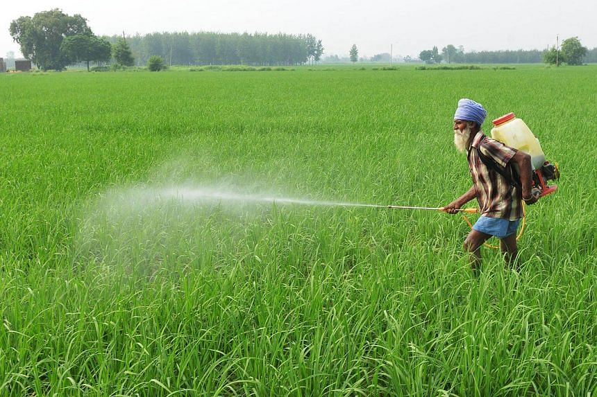An Indian farmer sprays insecticide onto crops in a paddy field on the outskirts of Amritsar on July 16, 2017.