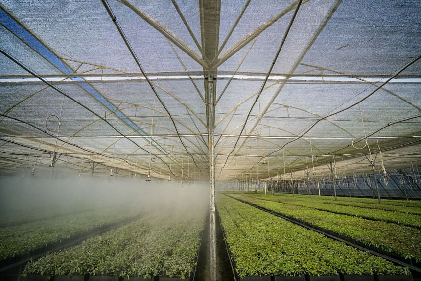 The plants remain in the nursery and are watered and sprayed with fertiliser and insecticides.
