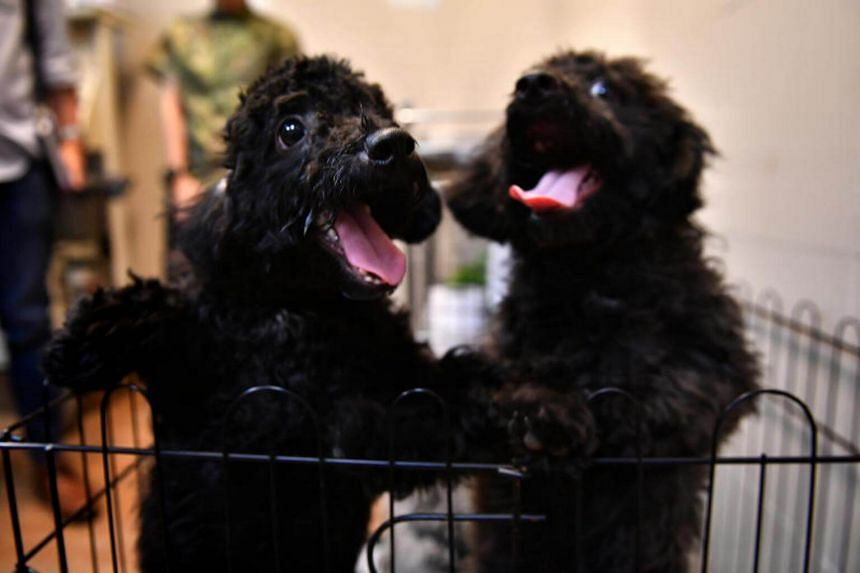 The puppies have completed their quarantine and will be prepared for rehoming by AVA officers.