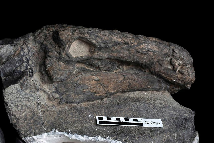 This recent handout photograph obtained on Aug 2, 2017, courtesy of the Royal Tyrrell Museum of Paleontology, shows the well-preserved head of a 110-million-year-old Borealopelta markmitchelli.