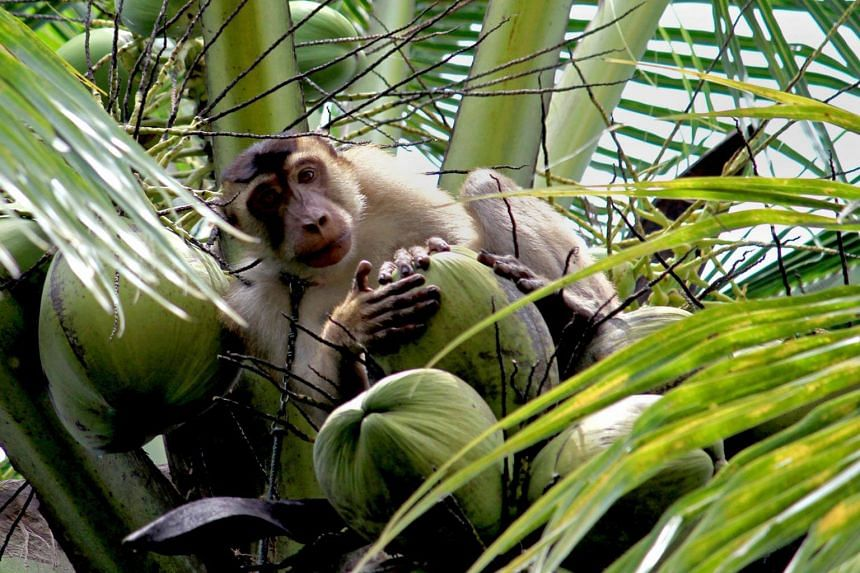 Residents and the authorities seem to have lost patience in the face of repeated raids by wild macaques on farms and houses in the past few months.