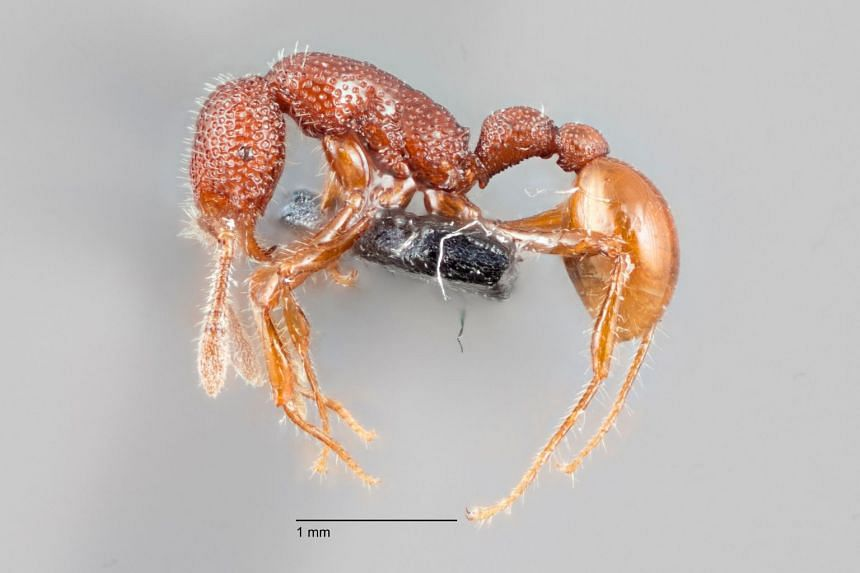 The T. rex ant is a timid creature, unlike the fearsome dinosaur it is named after.