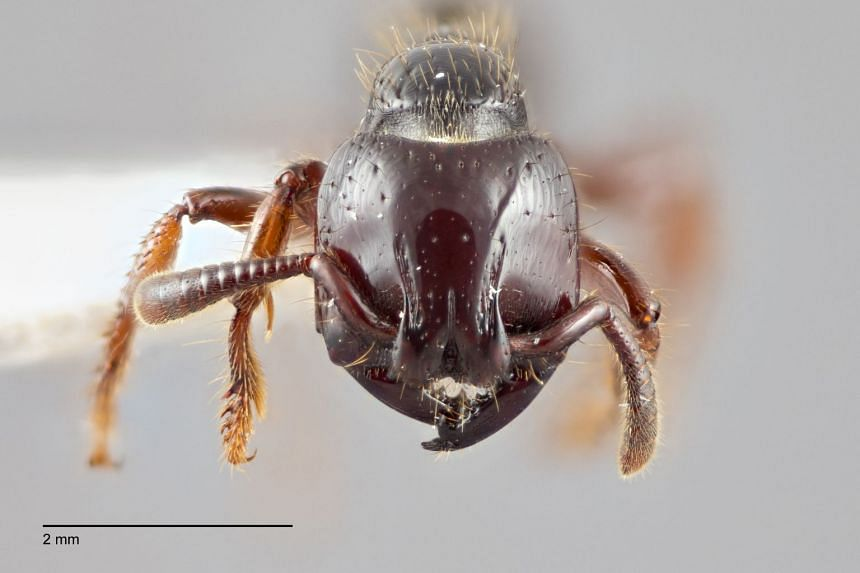 The vampire ant feeds on the blood of its own larvae.