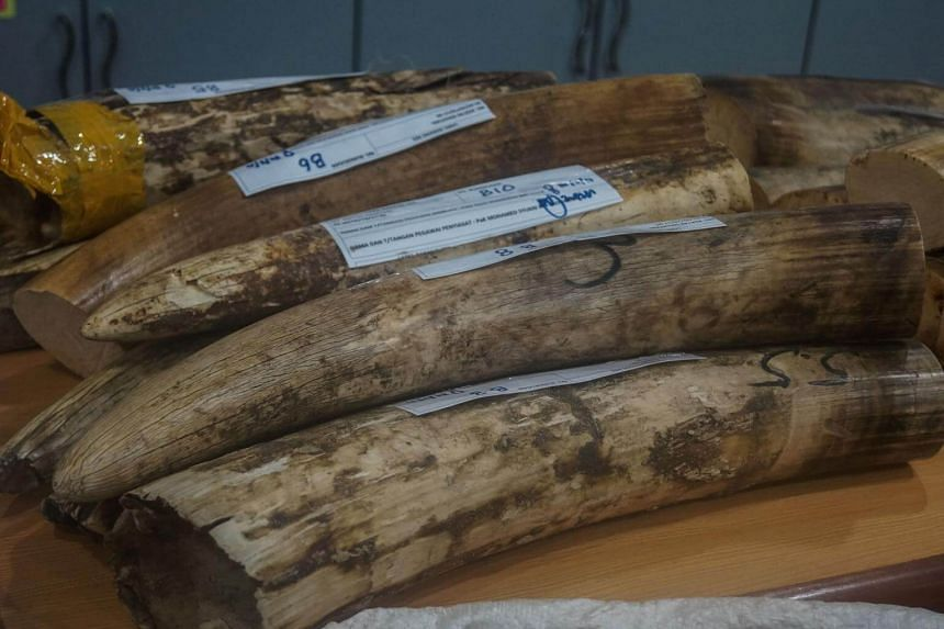 Seized elephant ivory displayed before a press conference in Sepang, Malaysia, on Aug 2, 2017.