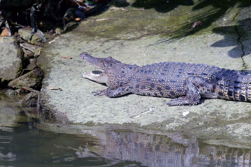 A crocodile spotted in Pasir Ris Park.