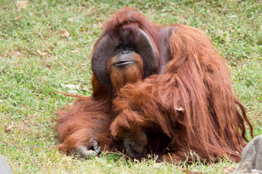 Chantek the orangutan was among the first apes to learn sign language.