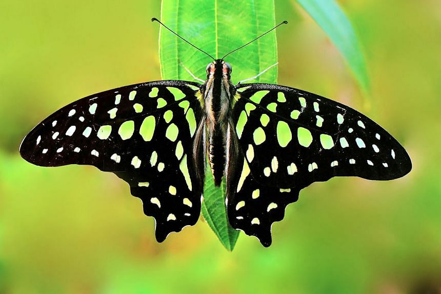In some butterfly species, the vibrant colours that set them apart are produced not just by pigments, but also by light-interacting structures on the scales of their wings. Scientists are studying these nanostructures for ways to create optic effects