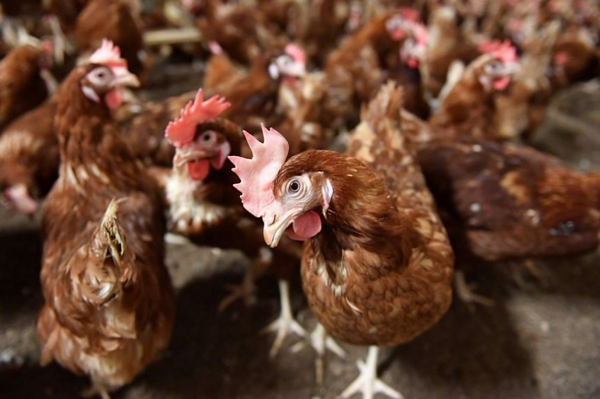 Chickens are pictured at an egg farm in Gaesti, Romania, on Aug 11, 2017.