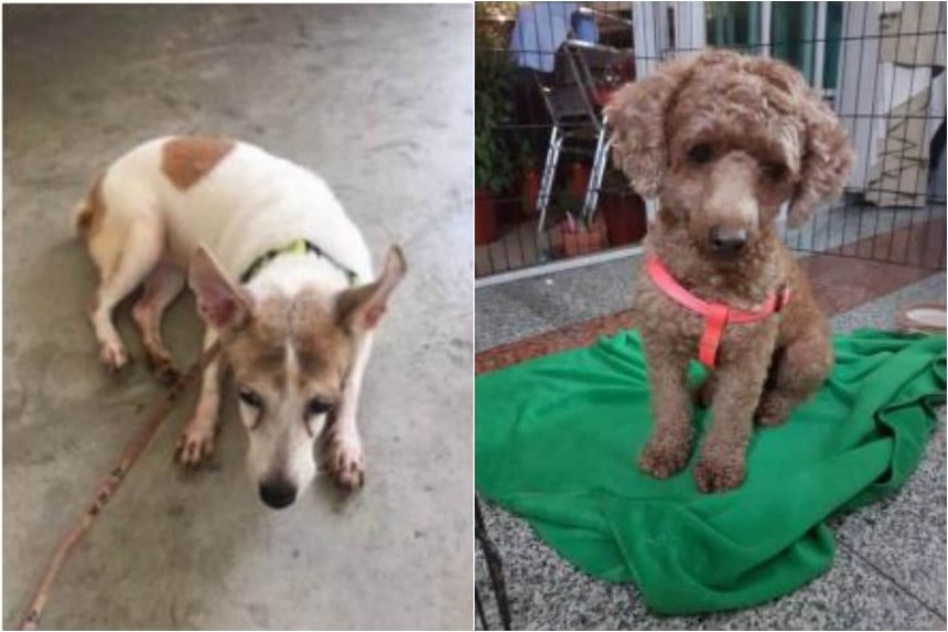 Tan Lee Cheng had abandoned her son's pet dog, Galgal (left), and Lu Mei Hua had instructed her domestic helper to leave their family dog, toy poodle Yoyo, at an Ang Mo Kio void deck after it bit her daughter's finger.
