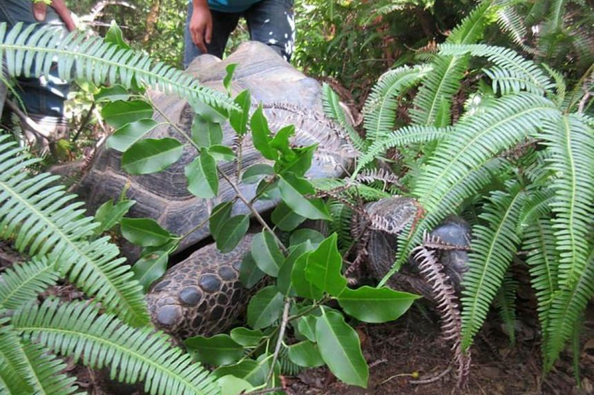 Abuh, the female giant tortoise, was found near the animal park it wandered out of in Okayama prefecture.