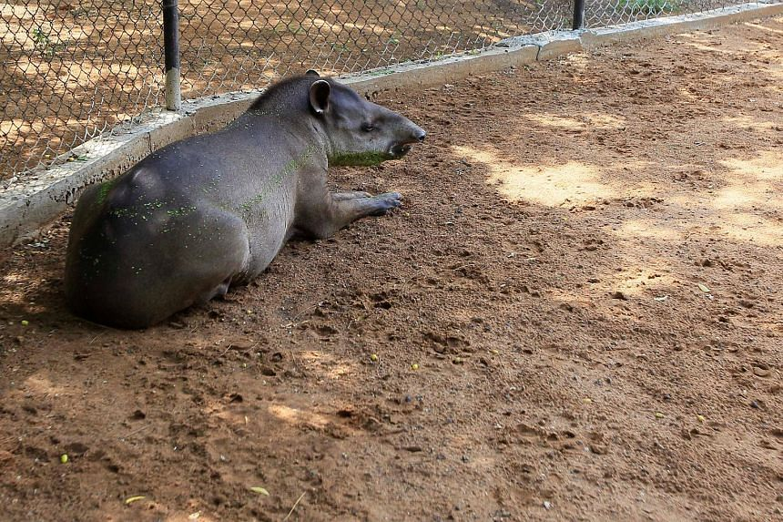 A tapir is seen at the Zulia's Metropolitan Zoological Park in Maracaibo, on Aug 16, 2017.