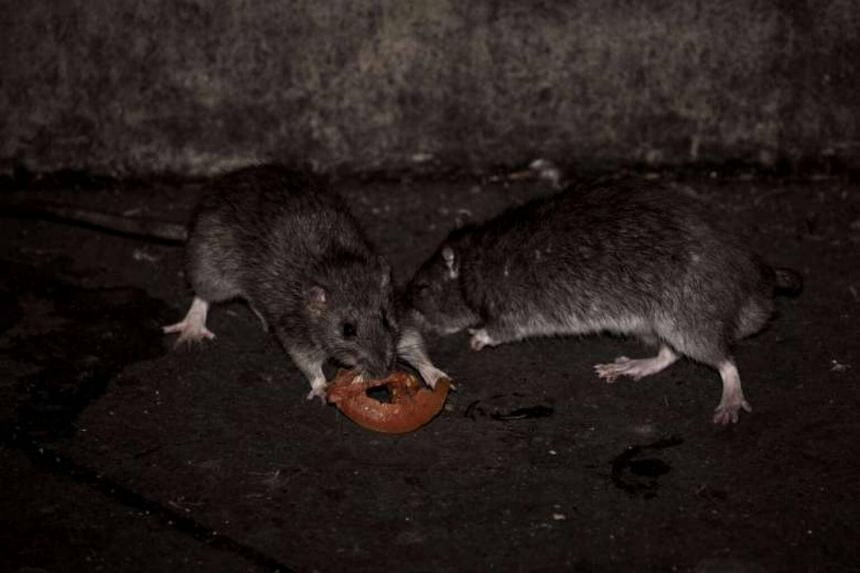 """Investigations showed that Kay Lim Construction & Trading had housed workers in """"rat-infested"""" workers' quarters."""