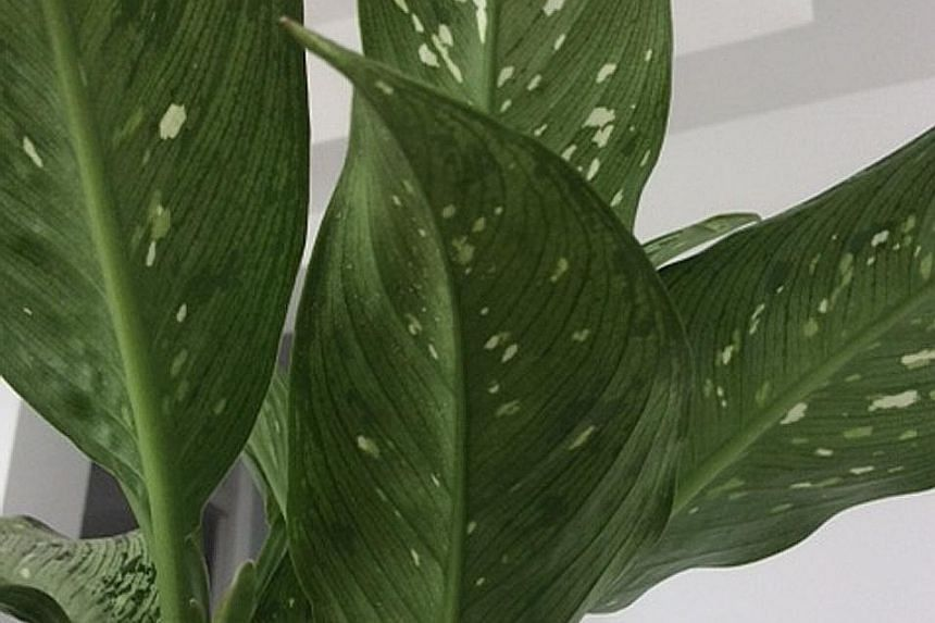 Brown leaf tips caused by chlorine or fluoride in water: Dieffenbachia