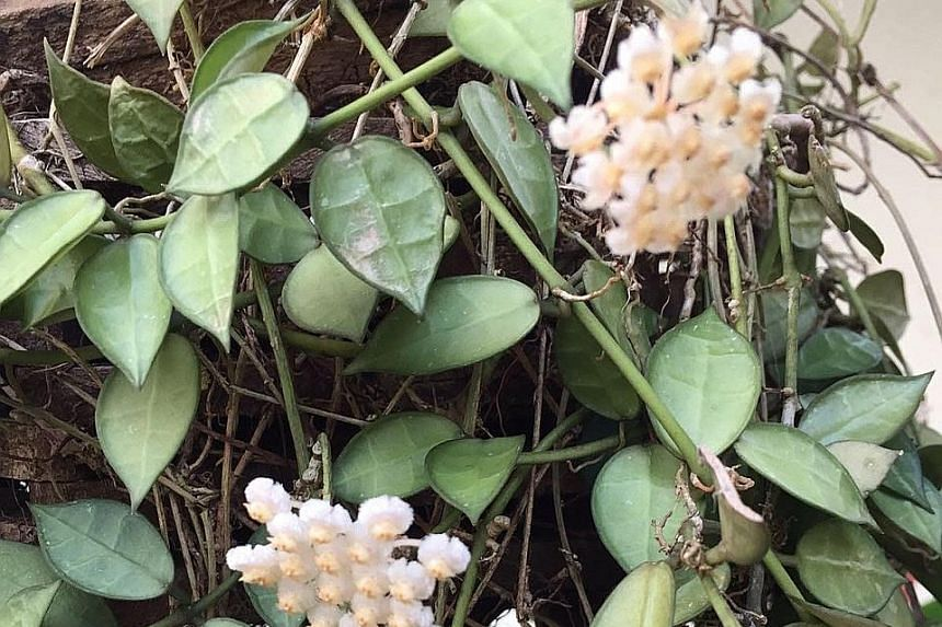 Only select Hoya species have fragrant blooms