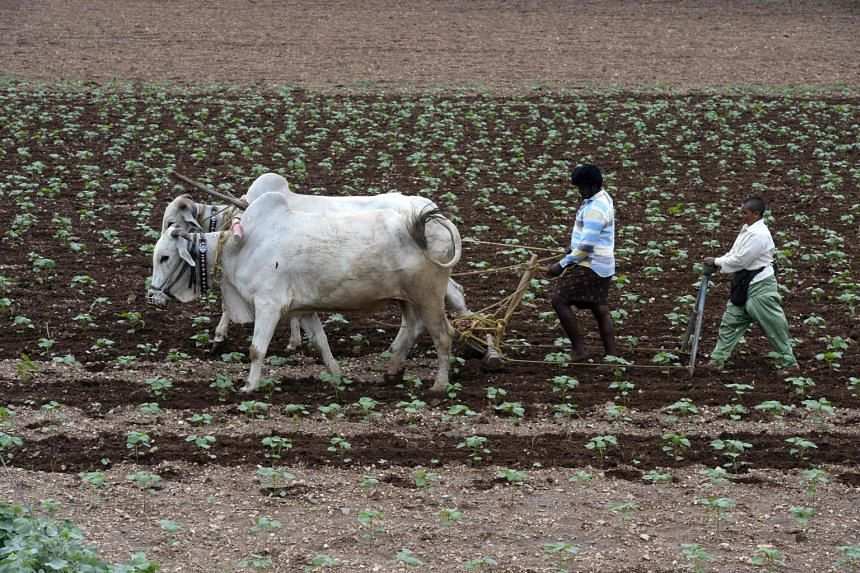 Indian farmers fertilise a cotton filed in Guntur District, in the southern Indian state of Andhra Pradesh, on July 15, 2017.