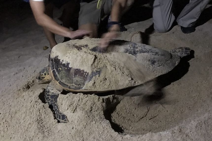 NParks scientists measuring the carapace of the hawksbill turtle. ST PHOTO: AUDREY TAN