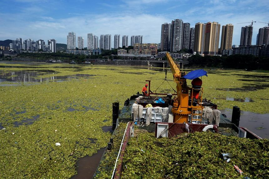 Workers on a boat clean up the water lettuce on the surface of Yangtze River in Chongqing, China.