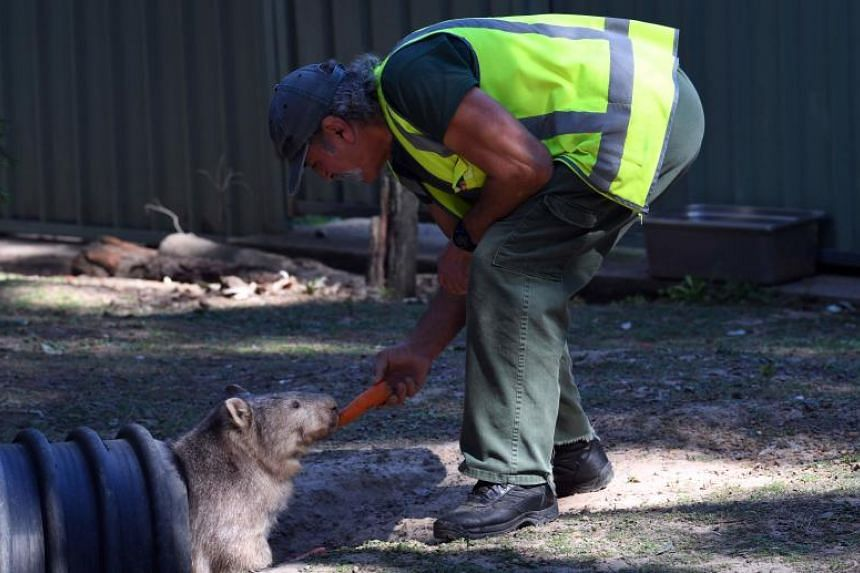 An inmate feeds a carrot to a wombat at John Morony Correctional Complex Wildlife Centre in Sydney on August 24, 2107. An Australian prison is rehabilitating inmates with a program that sees them care for native animals that have been abandoned, atta