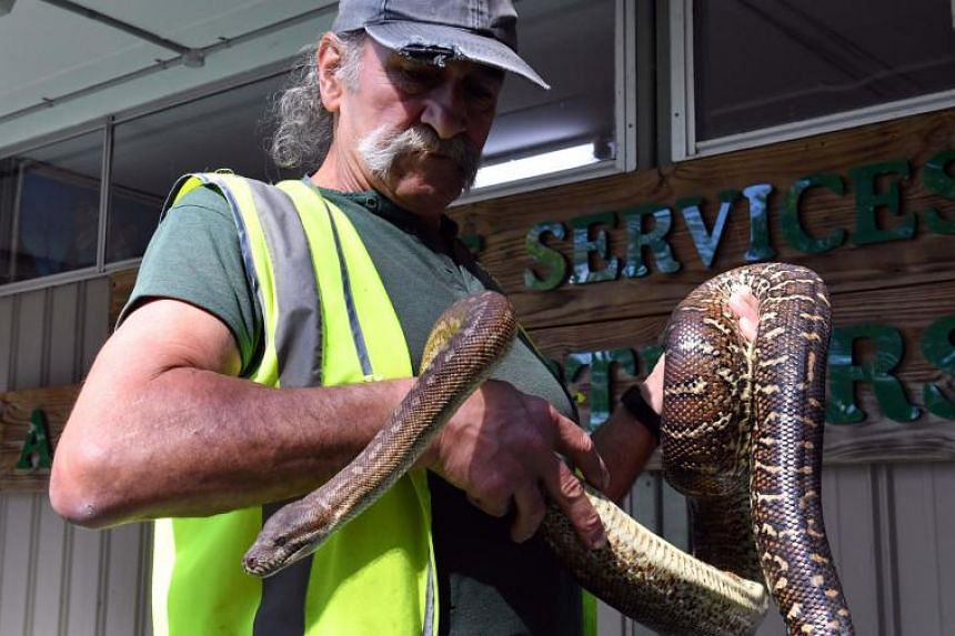 An inmate handles a python at John Morony Correctional Complex Wildlife Centre in Sydney on August 24, 2107. An Australian prison is rehabilitating inmates with a program that sees them care for native animals that have been abandoned, attacked by pr
