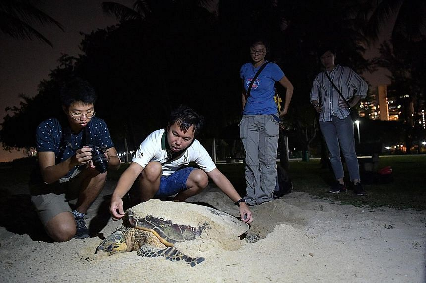 NParks staff member Collin Tong (in white) and his colleagues taking measurements of the hawksbill turtle, and (below) staff clearing sand off the back of the turtle to check its shell pattern on Wednesday. The turtle's 141 eggs have been moved to a