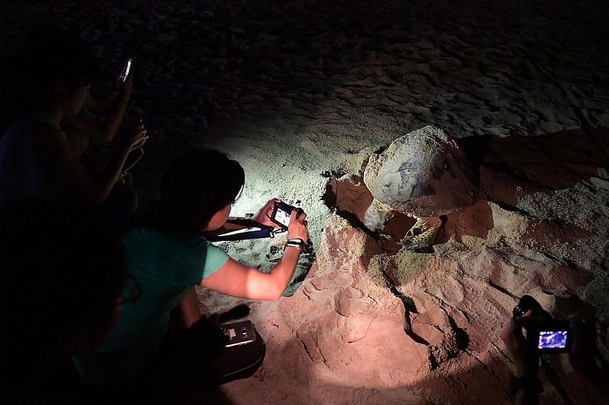 National Parks Board staff and volunteers taking photos of a hawksbill turtle laying eggs at a beach in East Coast Park. The pregnant turtle was spotted at the beach by a member of the public on Wednesday evening. The reptile started laying eggs at a