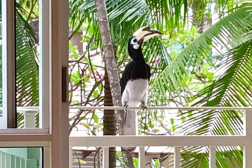 An oriental pied hornbill at Country Park Condominium in Bedok. There are around 100 in Singapore today, cementing the bird's position as a poster child for species rehabilitation here.