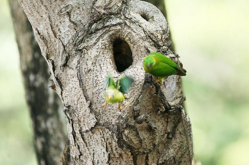 A young blue-crowned hanging parrot takes its first flight as its mother looks on from their nest near Pek Kio Market and Food Centre in April.