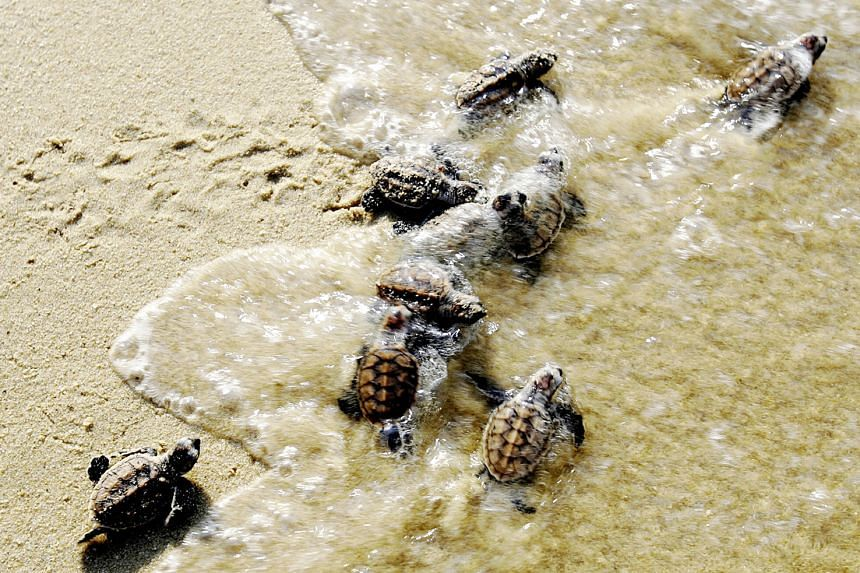 Turtle hatchlings making their way to the sea. Female turtles lay up to 200 eggs at one time, and the eggs typically hatch after two months.