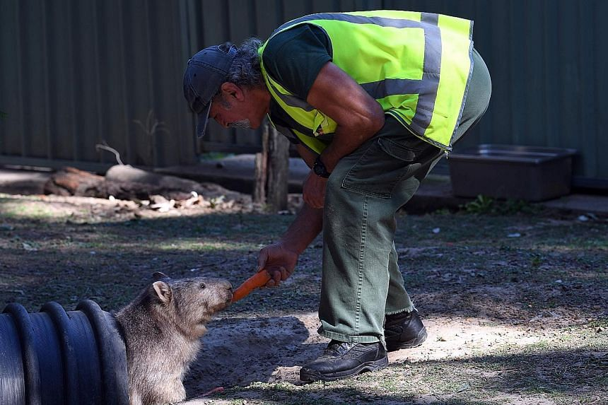 An inmate feeding a wombat at the John Morony Correctional Complex wildlife centre in Sydney on Thursday. Officials say the scheme helps instil a sense of responsibility in offenders.