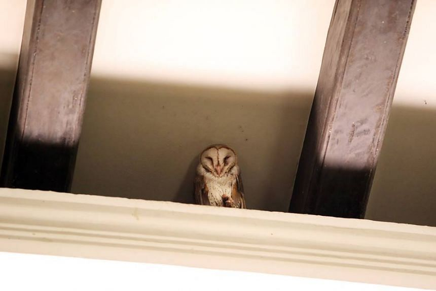 A barn owl has been sighted at the Istana again - after making appearances in 2015 and 2013.