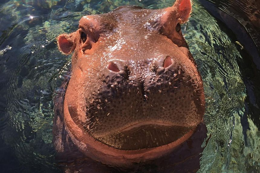 This recent photograph obtained on Aug 26, 2017 courtesy of the Cincinnati Zoo shows the baby hippopotomus Fiona at the Cincinnati Zoo in Cincinnati, Ohio.