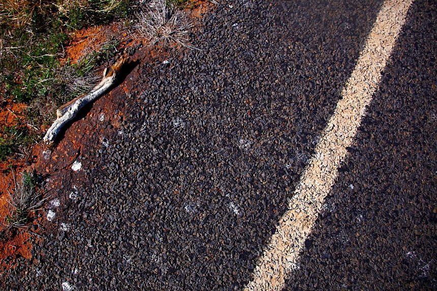 The paw of a kangaroo killed by traffic can be seen on the side of the highway on the outskirts of the south-western Queensland town of Cunnamulla in outback Australia